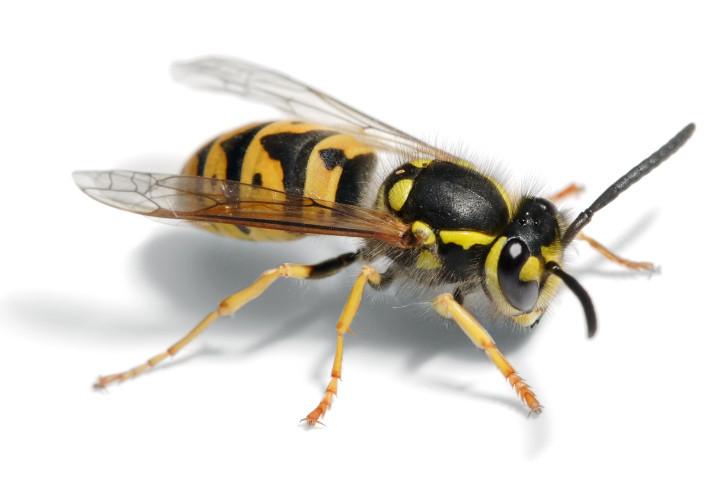 ampiaisen pisto allergia oireet